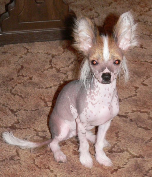 Chinese Crested Dog Puppy Names