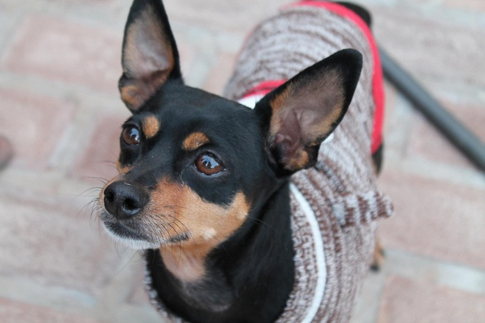 min pin chihuahua chipin dog miniature pinscher chihuahua mix info 5180