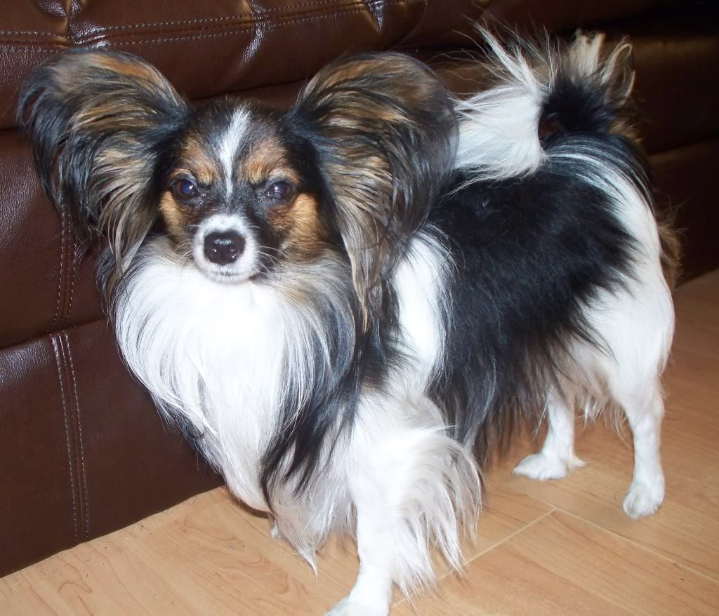 papillion puppies chion papillon chihuahua mix info temperament puppies 3567