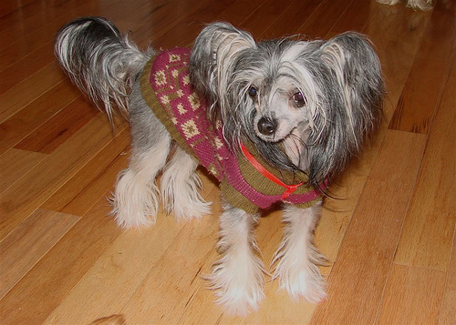 Chinese Crested Long Haired Chihuahua Mix