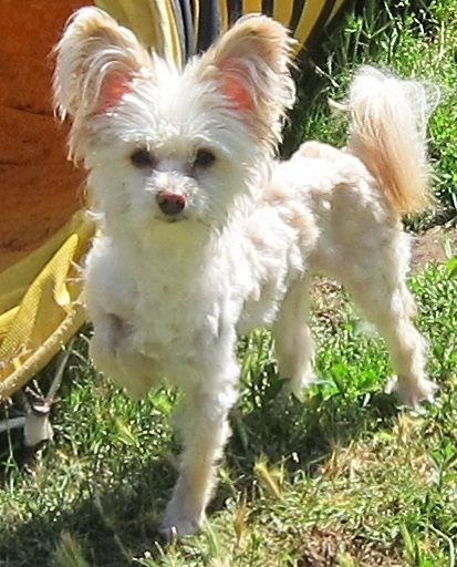 Chinese Crested Powder Puff Chihuahua Mix