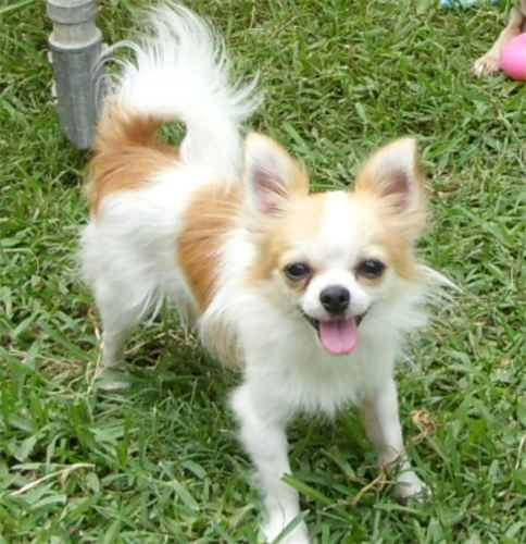 Chion (Papillon Chihuahua Mix) Info, Temperament, Puppies ...