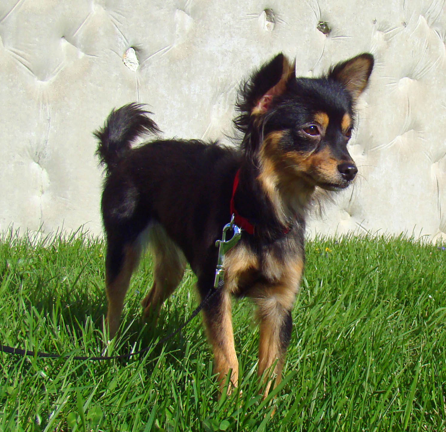 Chion Papillon Chihuahua Mix Info Temperament Puppies Pictures