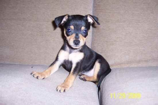 Miniature Pinscher Chihuahua Mix