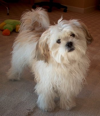 shih tzu maltese poodle mix mal shi maltese x shih tzu mix temperament puppies 3205