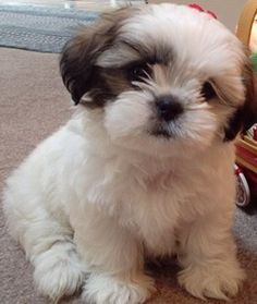 shih tzu maltese poodle mix mal shi maltese x shih tzu mix temperament puppies 5607