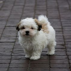 shih tzu maltese poodle mix mal shi maltese x shih tzu mix temperament puppies 1261