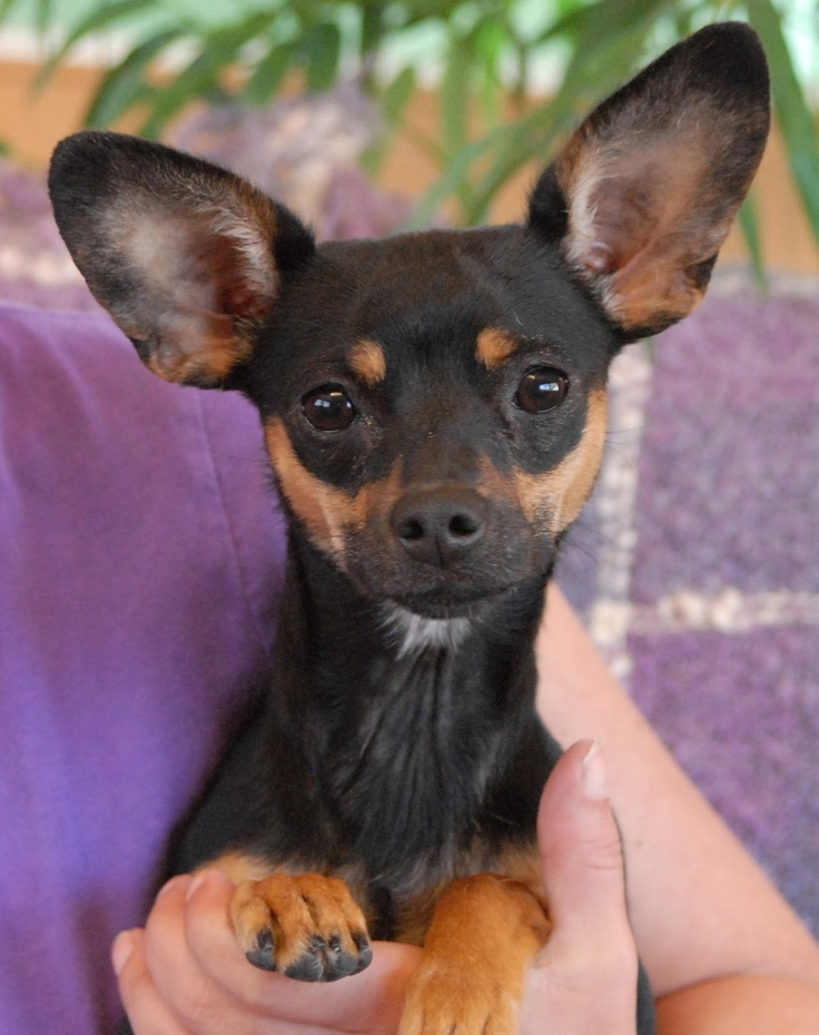 min pin chihuahua chipin dog miniature pinscher chihuahua mix info 5637
