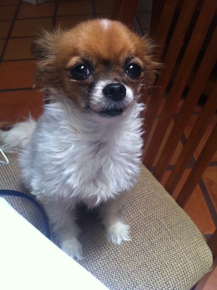 Papillon Chihuahua Mix For