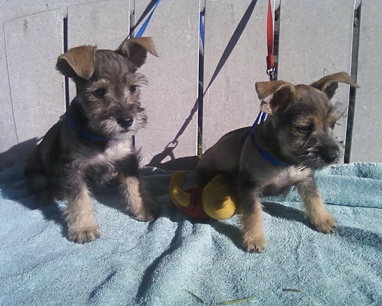 Chizer Chihuahua X Miniature Schnauzer Mix Temperament Puppies