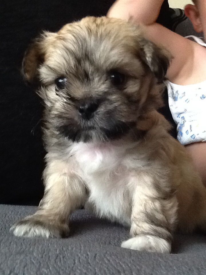 Mal Shi Maltese X Shih Tzu Mix Temperament Puppies