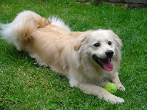 Are American Eskimo Dogs Good For Apartments