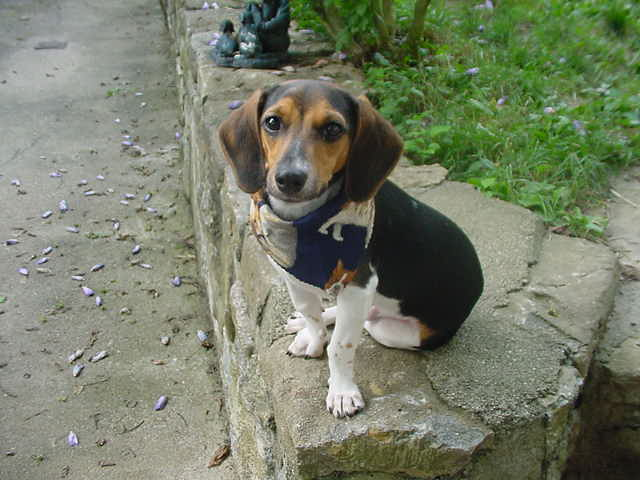 Doxle (Beagle X Dachshund Mix) Info, Temperament, Puppies ...