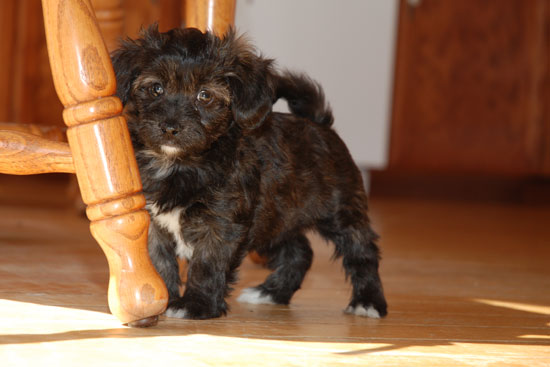 Havapoo (Havanese X Poodle Mix) Info, Temperament, Puppies