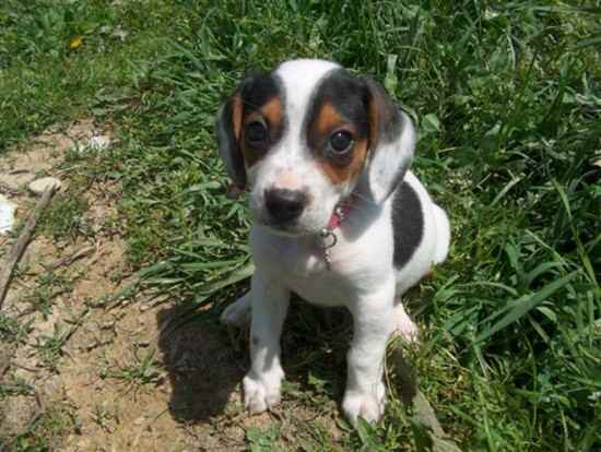 Doxle Beagle X Dachshund Mix Info Temperament Puppies Pictures