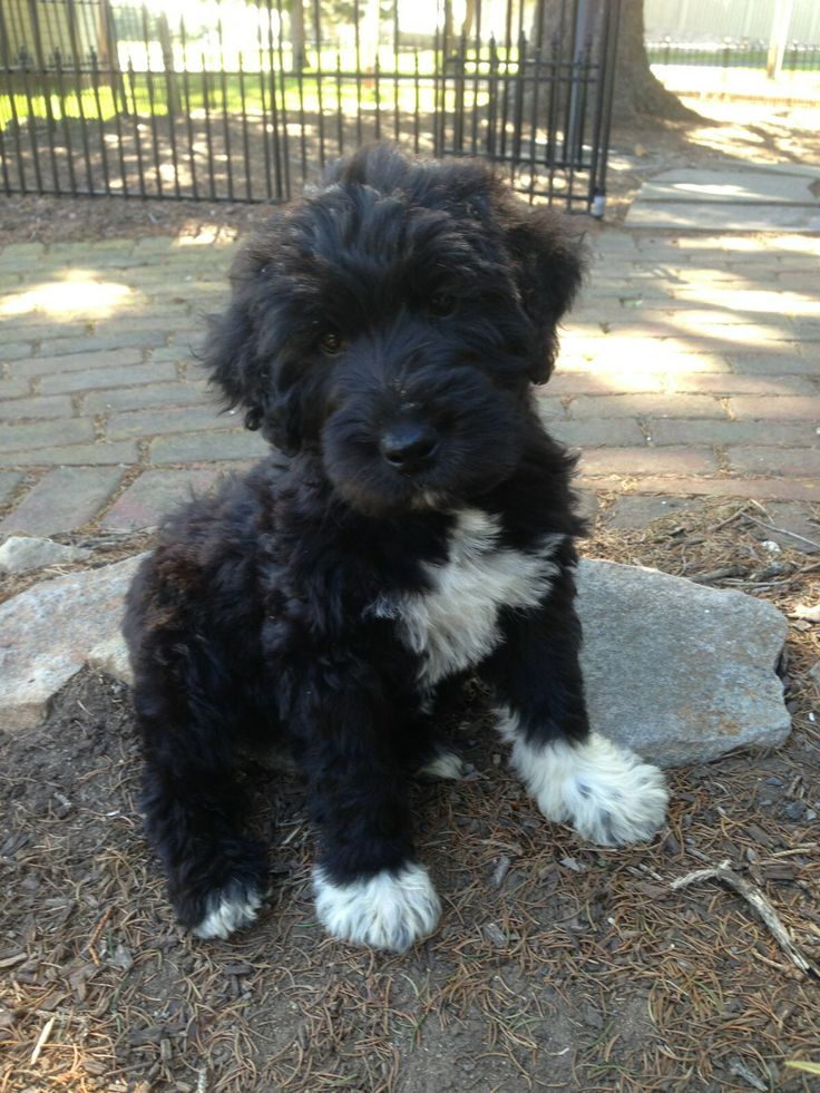 Poodle Dog in addition Morkies besides 27 Unreal Pekingese Cross Breeds You Have To See To Believe likewise Mini Labradoodle Puppy additionally Cute Miniature Bull Terrier Puppies. on miniature toy poodle rescue