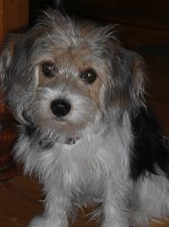 Is a Maltese Yorkie Mix the Right Dog for You