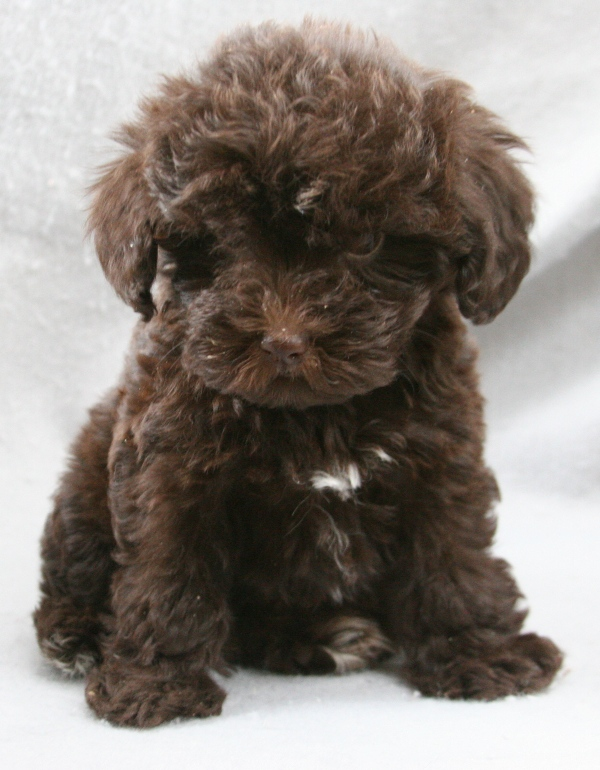 Buy Black Cocker Spaniel Puppies Therapy Dogs