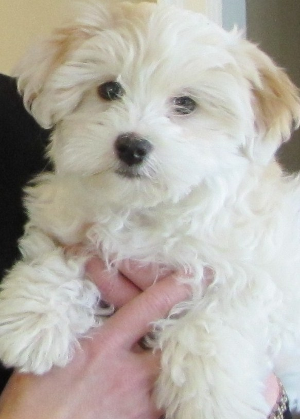 Havapoo Havanese X Poodle Mix Info Temperament Puppies Pictures