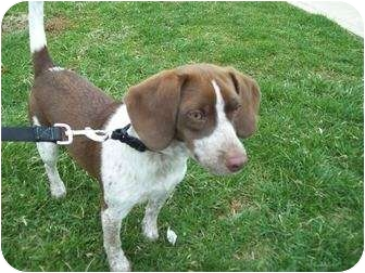 Boingle Beagle German Shorthaired Pointer Mix Info And Pictures
