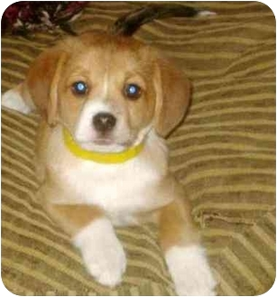 beagle pomeranian pomeagle beagle pomeranian mix info puppies 7867