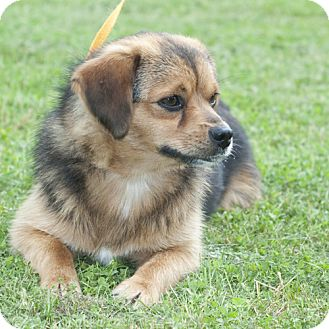 beagle pomeranian pomeagle beagle pomeranian mix info puppies 5800