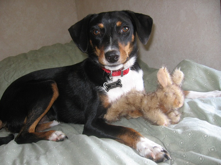 Reagle Pictures Beagle And Rottweiler Mix Puppy