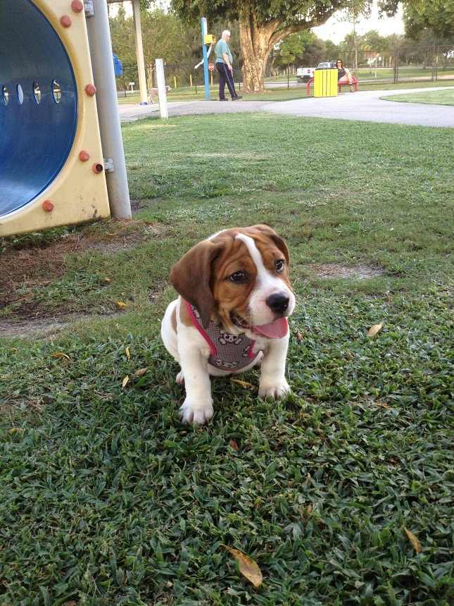 Boingle Beagle German Shorthaired Pointer Mix Info And