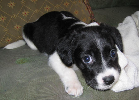 Border Beagle (Border Collie X Beagle Mix) Info ...