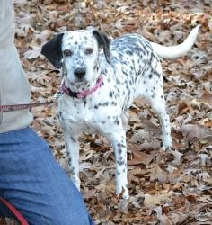 Beaglemation Dalmatian Beagle Mix Info Puppies Pictures