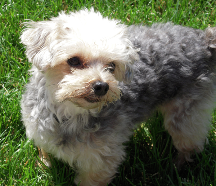 Small Fluffy Black And White Dog Breeds