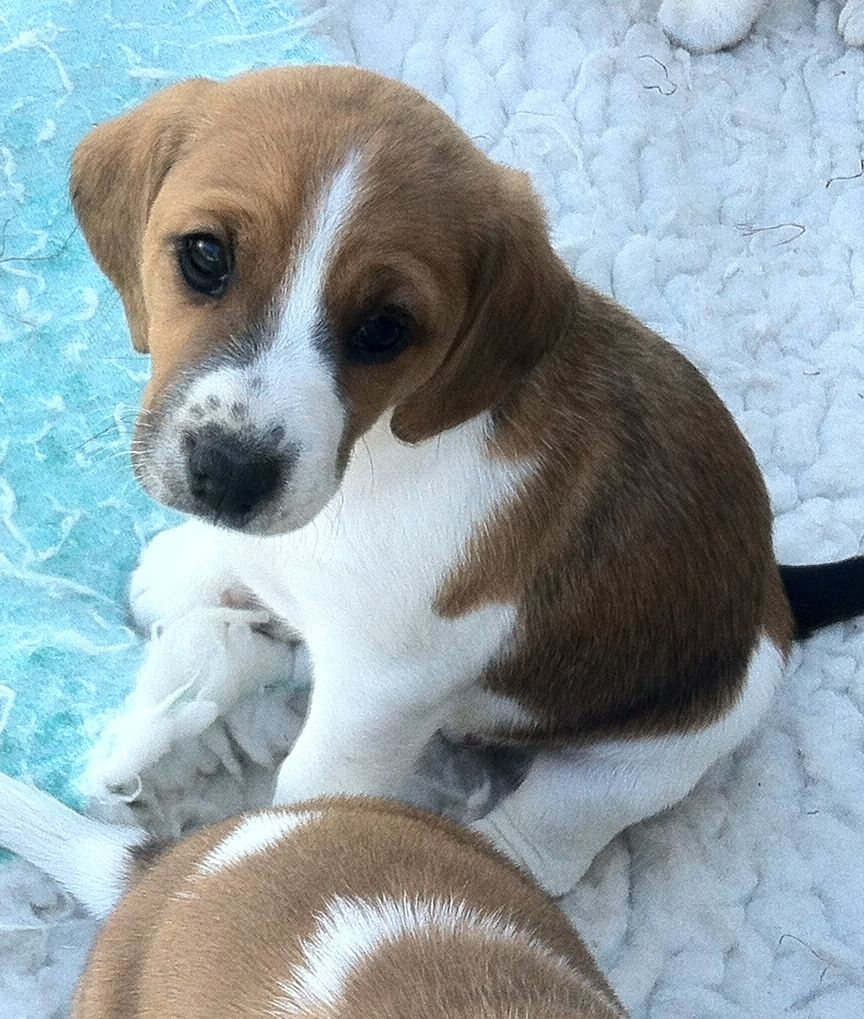 Toy Fox Beagle (Beagle Fox Terrier Mix), Info, Temperament