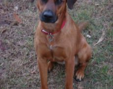 Black Mouth Cur Pictures