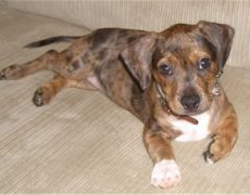 Bo-Dach (Boston Terrier-Dachshund Mix) Info, Puppies, Pictures