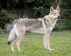 Czechoslovakian Wolf Dog Photos