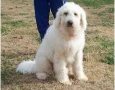 Pyredoodle Great Pyrenees Poodle Mix