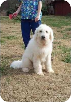 Great Pyrenees Poodle Mix Dog