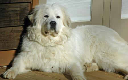 Great Pyrenees Mixed Breed Adult Dogs