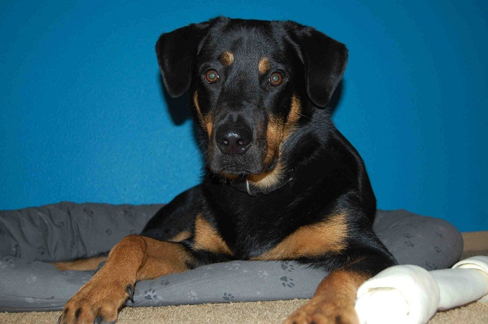Labrottie (Labrador Retriever-Rottweiler Mix) Info ...