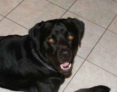 Labrottie Labrador Retriever Rottweiler Mix Info Puppies Pictures