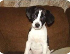 rat terrier dogs 101 raggle rat terrier x beagle mix info temperament 9401