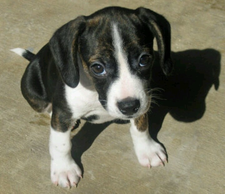 Raggle Rat Terrier X Beagle Mix Info Temperament