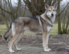 Photos Saarloos Wolf dog