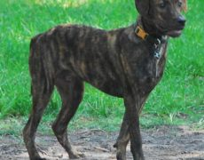 Images of Treeing Tennessee Brindle