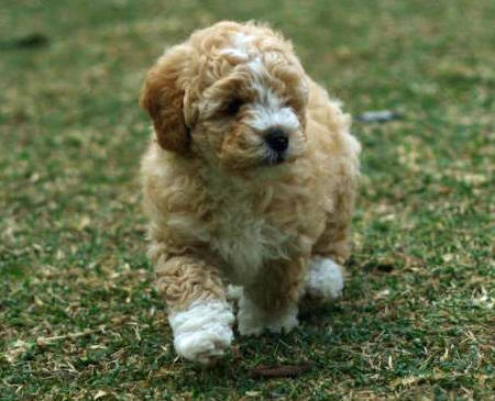 Cocker Spaniel Mix Dogs For Sale