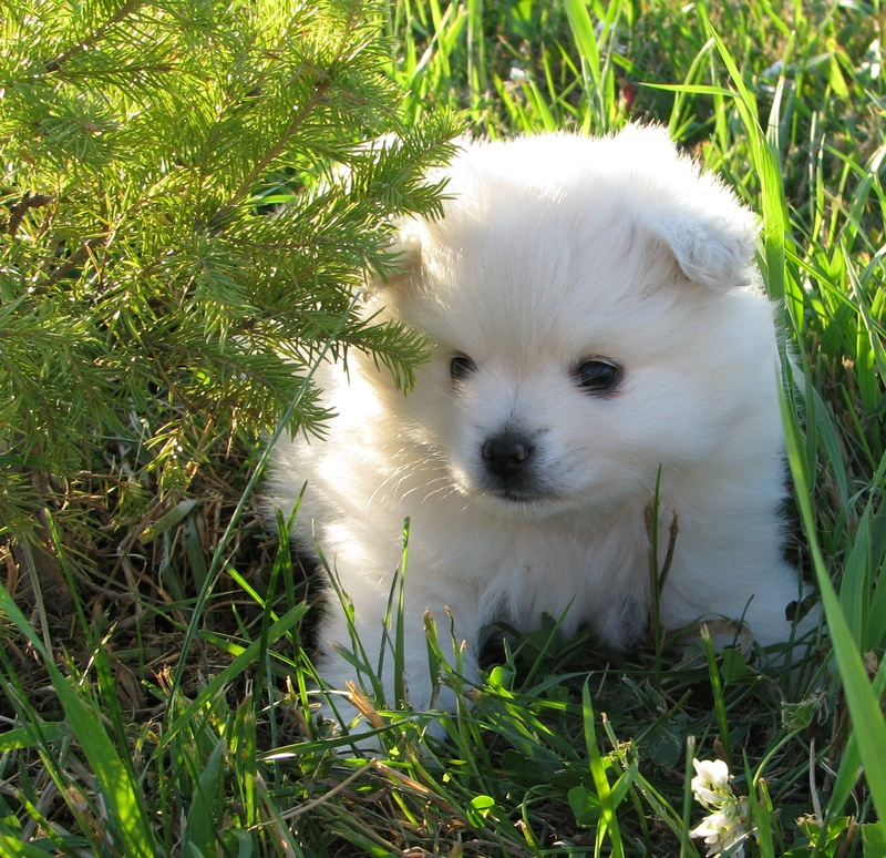 Pomimo Dog Pictures American Eskimo And Pomeranian Mix