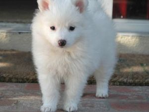 Pomimo Dog American Eskimo Pomeranian Mix Info And Pictures