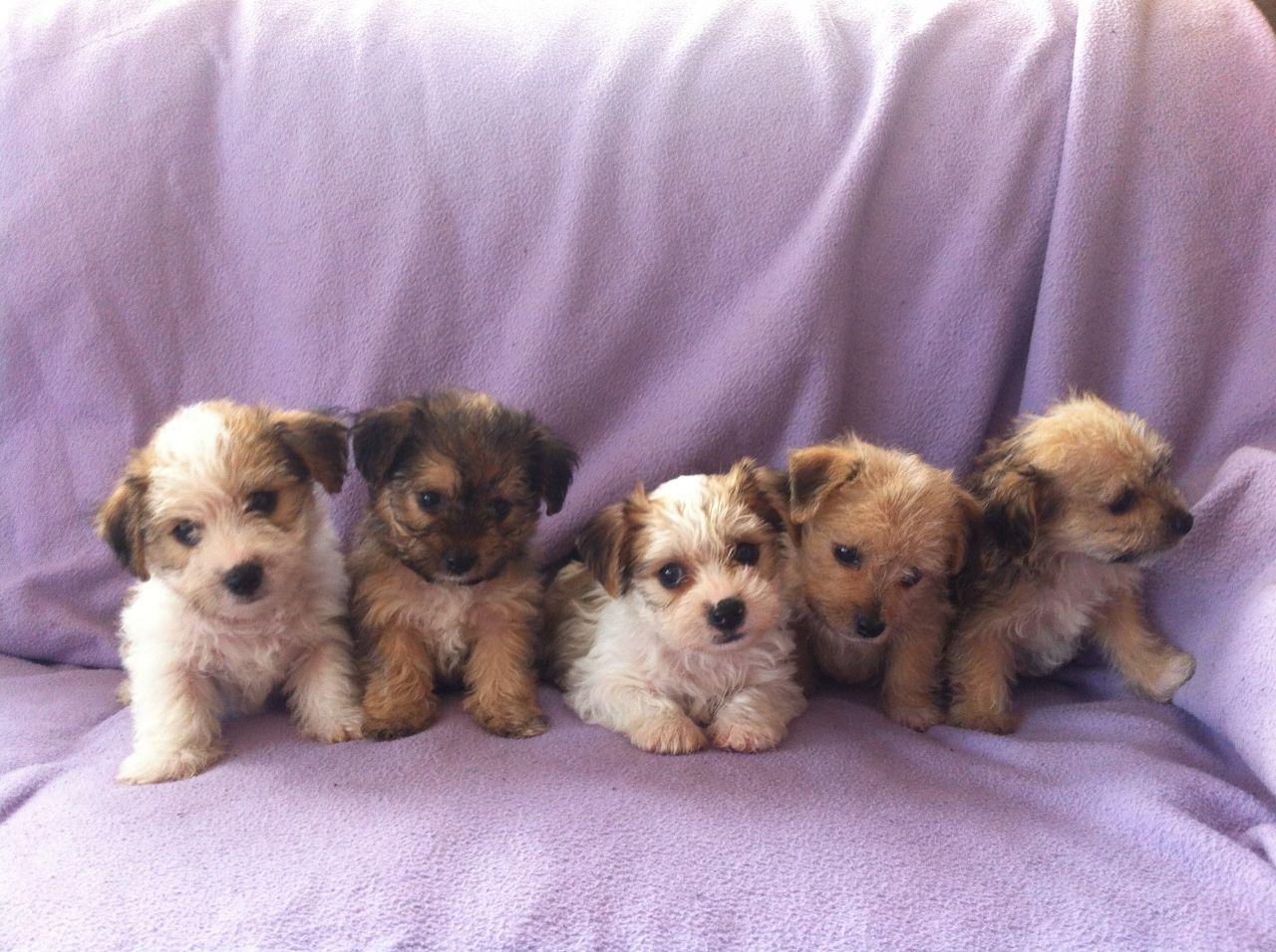 Yorkie Mix Dogs For Sale