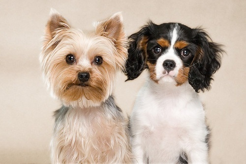 King Charles Yorkie Cavalier King Charles Spaniel X Yorkshire Terrier Mix Info Pictures