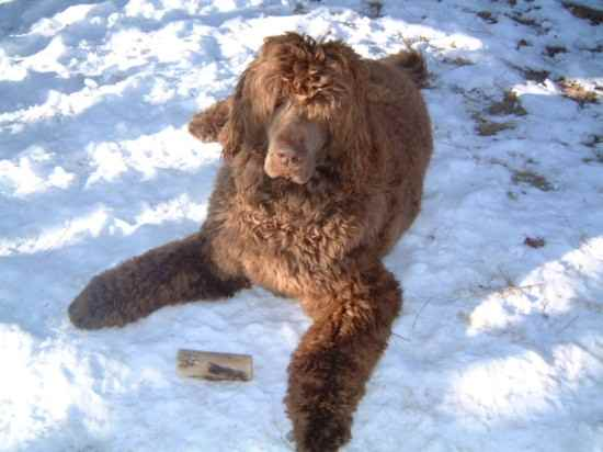 Newfypoo Newfoundland Poodle Mix Info Puppies And Pictures